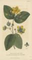 Plate 18 Hypericum Androsaemum - Conversations on Botany-1st edition.tiff