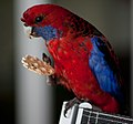 Platycercus elegans -OReillys Rainforest Retreat, Queensland, Australia -feeding-8.jpg