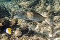 Plectropomus leopardus Common Coral Trout - 32368770977.jpg