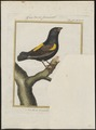 Ploceus capensis - 1700-1880 - Print - Iconographia Zoologica - Special Collections University of Amsterdam - UBA01 IZ15900075.tif