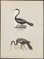 Plotus anhinga - 1700-1880 - Print - Iconographia Zoologica - Special Collections University of Amsterdam - UBA01 IZ18000025.tif