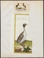 Podiceps auritus - 1700-1880 - Print - Iconographia Zoologica - Special Collections University of Amsterdam - UBA01 IZ17800071.tif