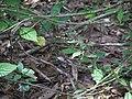 Pogostemon paniculatus (Willd.) Benth. (16008129539).jpg