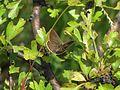 Polyommatus ripartii 1.jpg