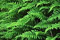 Polypodiumcalirhiza.jpg