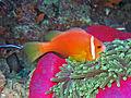 Pomacentridae - Amphiprion nigripes.jpg