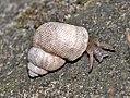 Pomatiasidae - Pomatias elegans-0.JPG