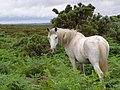 Pony on Hampton Ridge, New Forest - geograph.org.uk - 477400.jpg