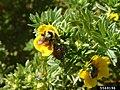 Popillia japonica (64).jpg