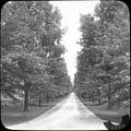 Populus (Poplars Cottnwoods), Jamaica Plain, MA (5167653011).jpg