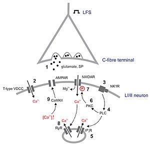 カルシウムシグナリング - Wikipedia