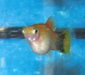 Pregnancy in fish - A pregnant fish