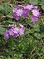 Primula farinosa 3 RF.jpg