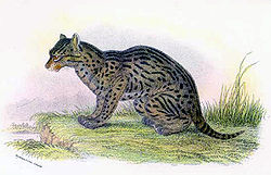 Lámina de Prionailurus viverrinus na obra de Richard Lydekker Cats and Carnivora, 1894
