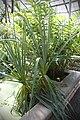 Prionium serratum 5082.jpg