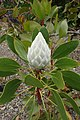 Protea cynaroides 'Arctic Ice' kz2.jpg