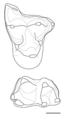 Protolambda molars.png