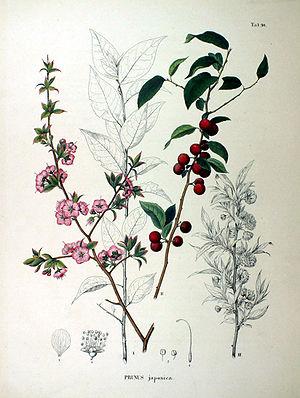 Prunus japonica - Prunus japonica