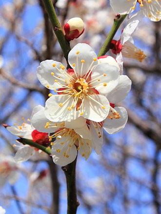 Prunus mume - Prunus mume blossoms