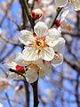 Prunus mume.JPG