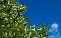 Prunus padus (2535538287).jpg