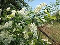 Prunus padus subsp. padus sl6.jpg