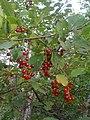 Prunus virginiana, cerises de virginie, chokecherries (4838744490).jpg