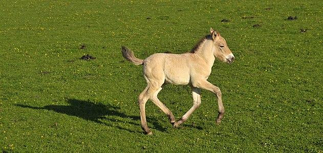 Przewalski's colt running