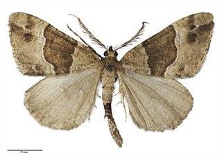 <i>Pseudocoremia</i> genus of insects