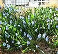 Pseudomuscari azureum (botanic garden of Berne).jpg
