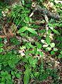 Pseudoturritis turrita 2.jpg