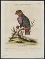 Psittacus fuscus - 1700-1880 - Print - Iconographia Zoologica - Special Collections University of Amsterdam - UBA01 IZ18600089.tif