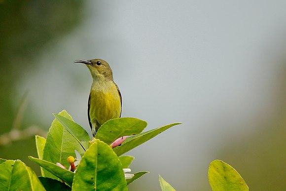 Purple Sunbird Female.jpg