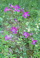 Purple flower forest bgiu.jpg