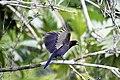 Purplish Jay (Cyanocorax cyanomelas) (9496877477).jpg