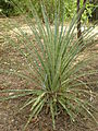 Puya chilensis 1c.JPG