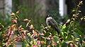 Pycnonotus sinensis - panoramio (002).jpg