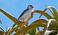 Pygmy Falcon (Polihierax semitorquatus) (6437060573).jpg