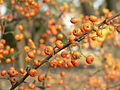 Pyracantha saphyr Orange.JPG
