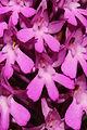 Pyramidal Orchid - Anacamptis pyramidalis (14300575149).jpg