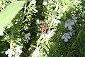 Pyrrhocoris apterus - img 14130.jpg