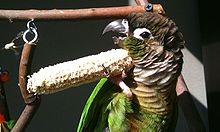 Green-cheeked parakeet - Wikipedia