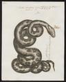 Python bivittatus - 1700-1880 - Print - Iconographia Zoologica - Special Collections University of Amsterdam - UBA01 IZ11800217.tif