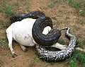 Python natalensis constricts a goat, Zimbabwe.jpg