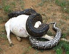 Python De Seba Wikipedia