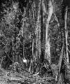 Queensland State Archives 1240 Banyan Tree in the Maze Kuranda NQ c 1935.png