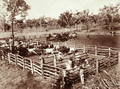 Queensland State Archives 2221 Cattle branding Emerald 1897.png