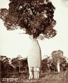 Queensland State Archives 2263 Bottle tree grown near Roma 1899.png
