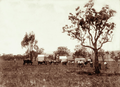 Queensland State Archives 2324 Cattle and sheds at Wilsons farm Warwick 1897.png