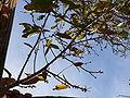 Quercus acutissima1.jpg